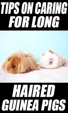 Tips on Caring for Long Haired Guinea Pigs