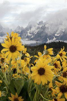 expressions-of-nature:  sunflowers & rain, Grand Teton : Pat Gaines
