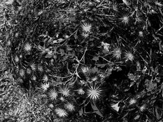 Mums in black and white by Valeria Castellanos