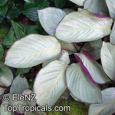 Calathea 'White Jade' with purple underside to the leaf