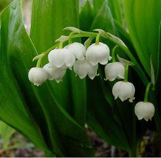 Convallaria majalis- Lelietje van Dalen  zure humeuze vochthoudende grond.  kan woekeren. Teveel? rooi een deel in januari, dikke neuzen geven bloemen, dunne neuzen alleen blad.  Zet ze in een bloempot in de garage. Als ze goed gaan groeien in huis, het ruikt heerlijk!  wel een giftige plant.