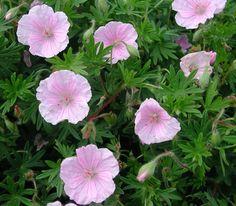Jungfrunäva, Geranium sanguineum var. striatum. Blir 10-15 cm, blommar juni-juli. Sol/halvskugga, medel vatten. Klarar torrt.
