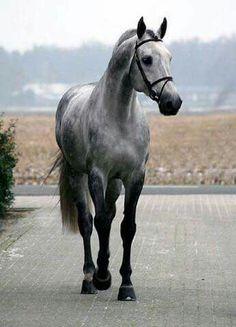 Dappled Gray Beauty