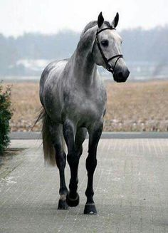 Dappled Gray Beauty