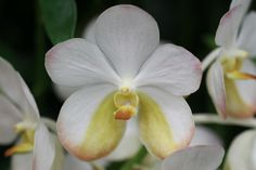 Vanda Orchid Images, Begonia, Orchids, Gardens, Organic, Beautiful, Natural, Flowers, Plants