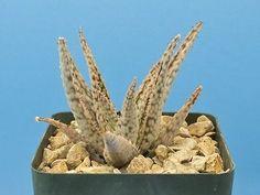 Aloe cv. 'White Lightning' Kelly Griffin Hybrid Cultivar succulent B61