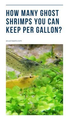 Ghost Shrimp, Shrimp Tank, Tanked Aquariums, Fish Tanks, Betta Fish, Factors, Rest, Community, Number