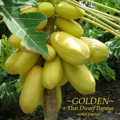 Amazon.com: ~GOLDEN THAI~ Dwarf PAPAYA Short Tree YUMMY YELLOW FRUITS Fresh 10 Fine Seeds: Garden & Outdoor