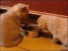 recoveryisbeautiful:catgoddess:awwww-cute:Get away from my food!...