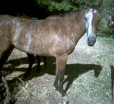 Chimera horse? Nice while brindle