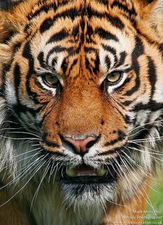 (via 500px / Tiger by Mark Monckton photography)