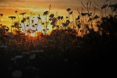 Sunrise through the wildflowers. #Nature #photography #sunrise #wildflowers #iowa