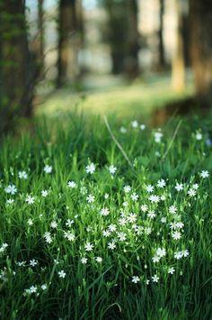 .Kevättähtimö--Stellaria holostea
