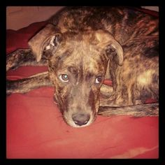 brindle pit....looks like our Aspen <3