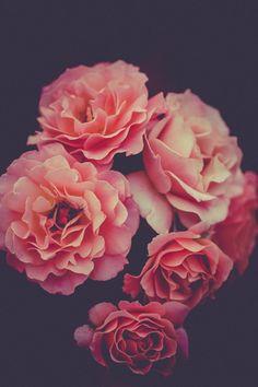 flowers, nature, blossoms, roses, carnation, pink, petals, macro, still, bokeh
