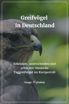Mäusebussard, Habicht, Sperber und Milan - Greifvögel im Kurzporträt, ihre Besonderheiten und Unterschiede