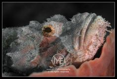 Scorpionfish  © Arno Enzerink / www.stockphotography.nu. All rights reserved.
