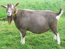 Male goat pee
