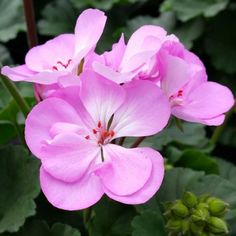 Geranium Zonal Spanish Wine Rose #geranium | Geraniums | Pinterest ...