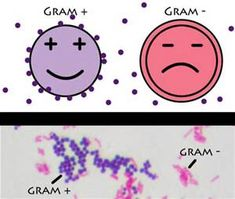 A positive gram stain result means the bacteria has a thick peptidoglycan layer in the cell wall that retains the stain after it is washed away from the rest of the sample.