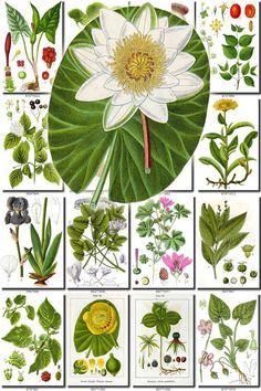 FLORA-1 Collection of 900 vintage illustrations vegetable