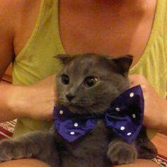 Cat wearing a Motanov bow tie