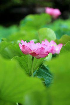 Lotus | Yoshihiro Ogawa | Flickr