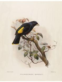 28 Rawnsley's Satin Bird