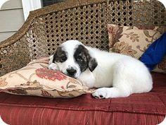 Woodstock, GA - Great Pyrenees Mix. Meet Duke, a puppy for adoption. http://www.adoptapet.com/pet/17848160-woodstock-georgia-great-pyrenees-mix