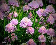 Beautiful Purple chives by Geri Glavis