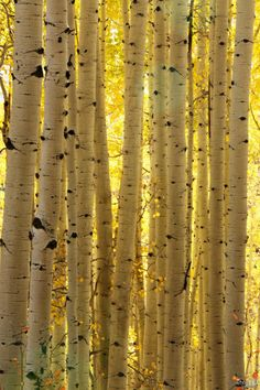 If you're lucky enough...you'll be surrounded by birch...