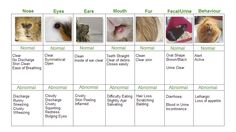 Health care chart, Print it and keep it on the wall or near your guinea pigs cage!