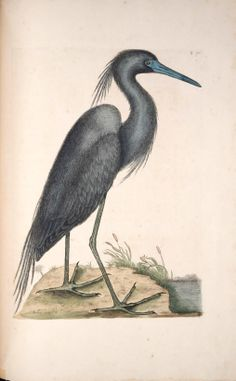 Blue Heron, from the The Natural History of Carolina, Florida and the Bahama Islands, Mark Catesby, 1729.
