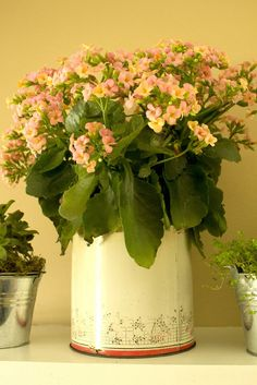 kalanchoe in vintage canister