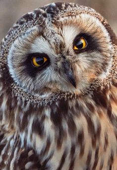 Uploaded by shooting star. Find images and videos about owl on We Heart It - the app to get lost in what you love. Beautiful Owl, Animals Beautiful, Cute Animals, Owl Photos, Owl Pictures, Owl Bird, Pet Birds, Short Eared Owl, Owl Eyes