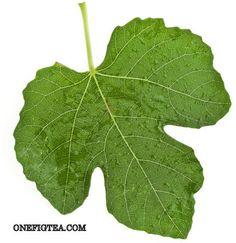 The Top 10 Fig Leaf Health Benefits Fig Leaves, Plant Leaves, Health Benefits Of Figs, Home Remedies, Plants, Master Bedroom, Youtube, Top, Gardens