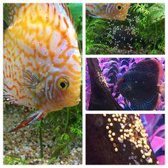 Aquarium Adventure has two batches of discus eggs!