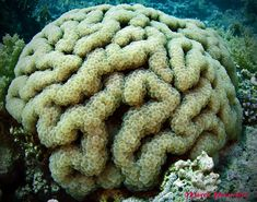 https://flic.kr/p/aUWnn6 | Plerogyra sinuosa-Madrepora uva | Sharm El Sheikh 2011-Ras Umm Sid