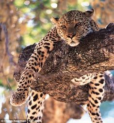 Over three spectacular episodes, Big Cats reveals incredible footage of 31 of the 40 cat species, including many kinds of behaviour never seen before on TV.