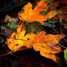 Efterårsblade i Damsbo Skov #visitfyn #fyn #visitdenmark #skov #forrest #naturelovers #natur #denmark #danmark #dänemark #landscape #nofilter #sky #assens #mitassens #fynerfin #vielskernaturen #visitassens #instanature #picoftheday #sea #leaves autumn #efterår