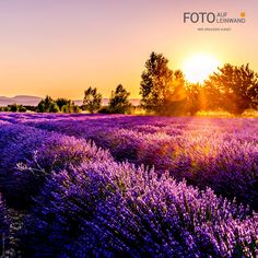 The brilliant colors over this lavender field during the sunset are simply captivating Iphone Wallpaper Fall, Nature Wallpaper, Wallpaper Backgrounds, Live Wallpapers, Iphone Wallpapers, All Nature, Amazing Nature, France Wallpaper, Belle France