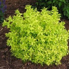 Salvia nemorosa lyrical blues flores y hierbas comestibles floreros pinterest cats for Pine garden exeter nh