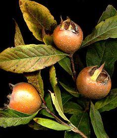 nèfles fruit du néflier, Mespilus germanica, Loquat Edible Plants, Pear, Banana, My Favorite Things, Vegetables, Food, Gardens, Plants, Fruits And Veggies
