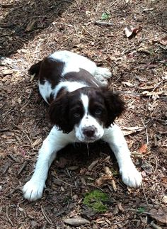 "Springer Spaniel Puppy ""Abby"""