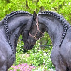 (91) Friesian Horses nuzzling with gorgeous braids. Hermes