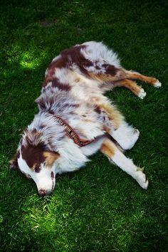 Red Merle Australian Shepherd, this is my dog!!! (soon enough)
