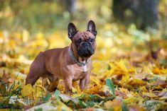 Cute Dogs Breeds, Dog Breeds, Pet Poison Hotline, Dog Dna Test, Buy Pets, Dog Care Tips, Pet Safe, Thanksgiving Recipes, French Bulldog