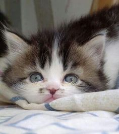 Don't you just love cats? Little Kittens, Cute Cats And Kittens, I Love Cats, Crazy Cats, Kittens Cutest, Pretty Cats, Beautiful Cats, Animals Beautiful, Baby Animals