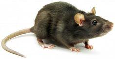 m&m Pest Management: rats & mice
