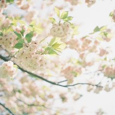 Heavenly cherry blossoms
